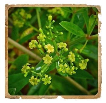 Manjistha (Rubia cordifolia) pudra ayurvedica, 100 g - Erbe di Janas
