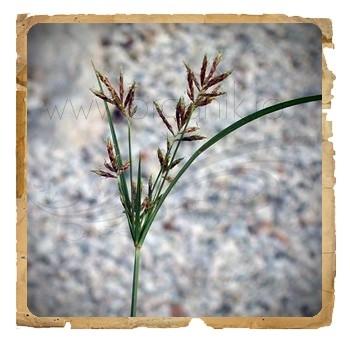 Nagar Motha (Nutgrass) pudra ayurvedica, 100 g - Erbe di Janas